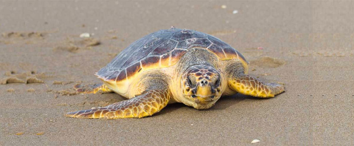 loggerhead sea turtle physical features