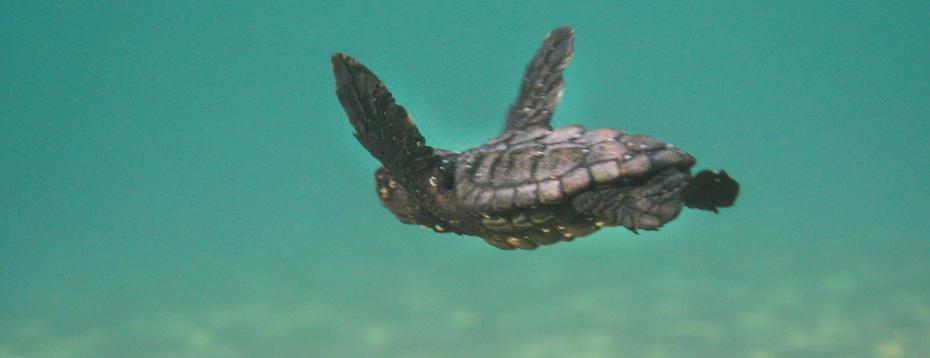turtles_caretta_caretta_zante-2