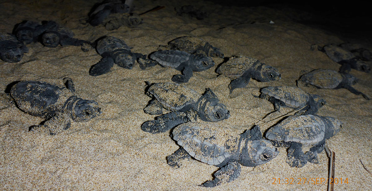 loggerhead sea turtle hatchlings
